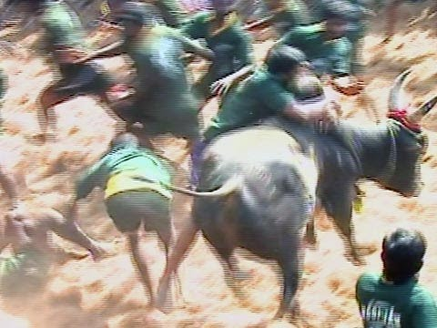 Jallikkattu Kaalai and Bull Race