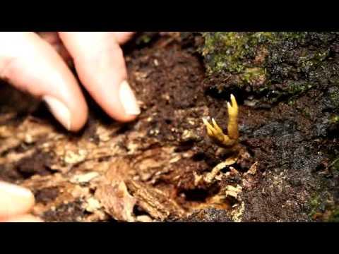 Larry Evans digging up a Cordyceps fungus in Ecuador