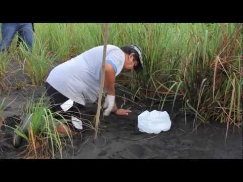 Run for the Sea: Releasing Olive Ridley Turtles in Costa Rica