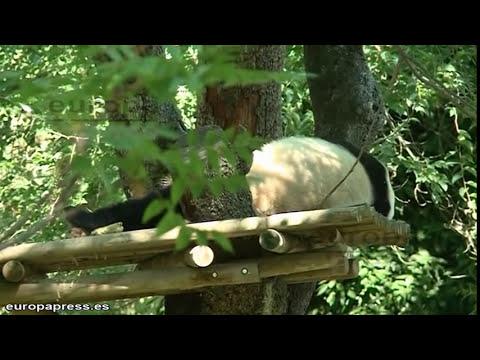 Nace una cría de oso panda en el zoo de Madrid
