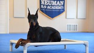 Crixus (Doberman Pinscher) Advanced Obedience Training Demonstration