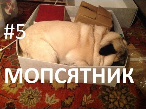 Best Funny Pugs Videos Compilation | Приколы с Мопсами #5