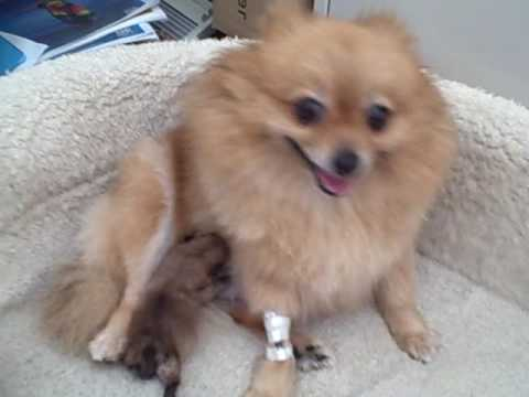 Cute newborn pomeranian puppy youtube