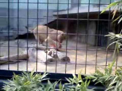 La lionne joue au ballon / ボール遊びをするライオン