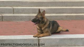 "Super Star German Shepherd ""Gala"" Trick Obedience Protection Trained Working K9"