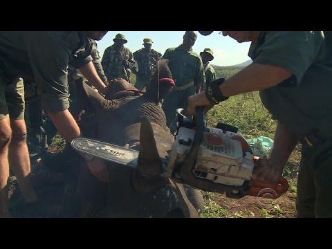 Park rangers take drastic measures to save South Africa's rhinos