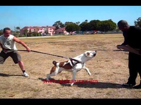 Natuaral working central asian shepherd dog