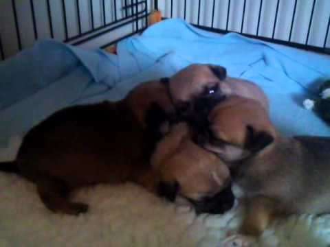 Chug puppies 24 days old