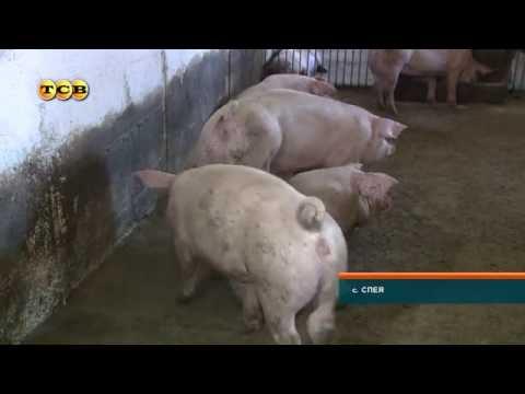 Свиноферма как семейное дело