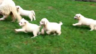 English Cream Golden Retriever Puppies for Sale Isaac Lapp