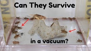 What Happens When You Put Crickets In A Vacuum Chamber? Will They Survive?
