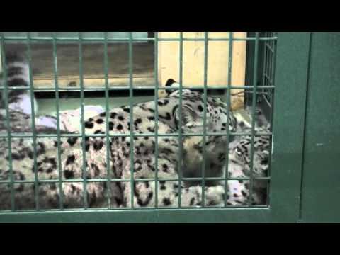 しっぽでじゃれるユキヒョウの赤ちゃん~Snow Leopard Baby plays with tail