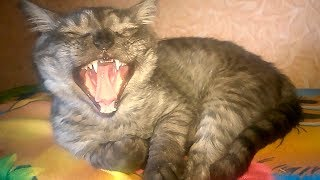 How British Kitten Yawning