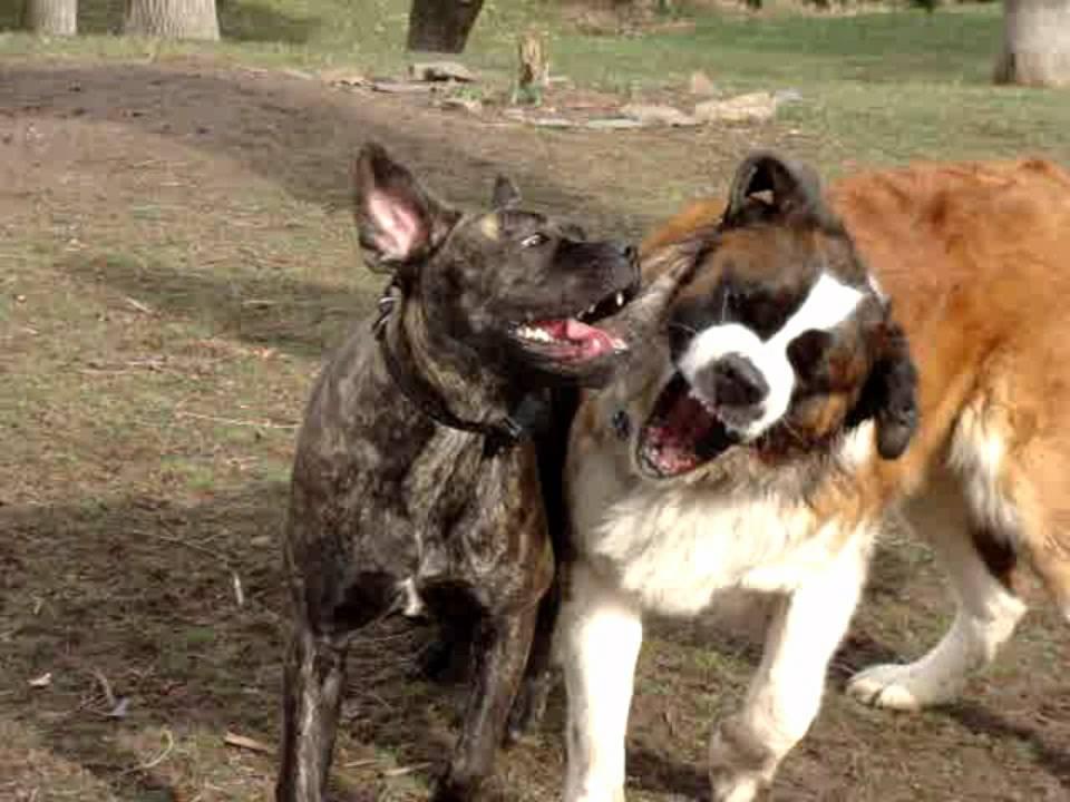 Saint Bernard vs Cane Corso Mastiff - YouTube