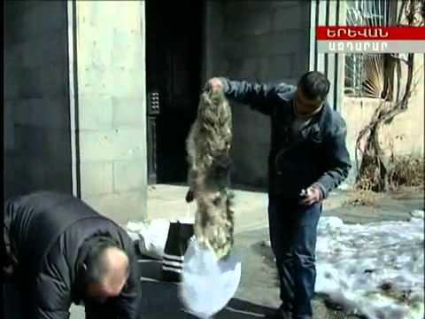 Armenia убей волка получи 100 тысяч