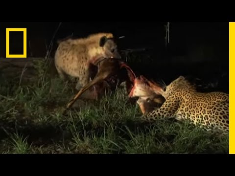 Hyenas Fight Leopard for Kill