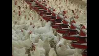 The Hatching Egg Industry