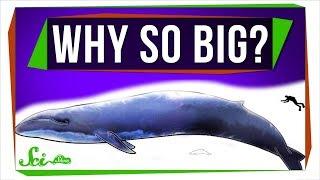 Why Are Marine Mammals So Big?