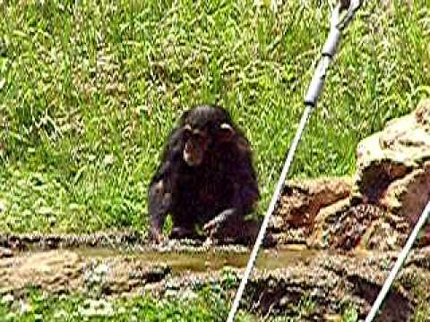 チンパンジーの赤ちゃん(多摩動物公園)01-水遊びでちょっとケンカ