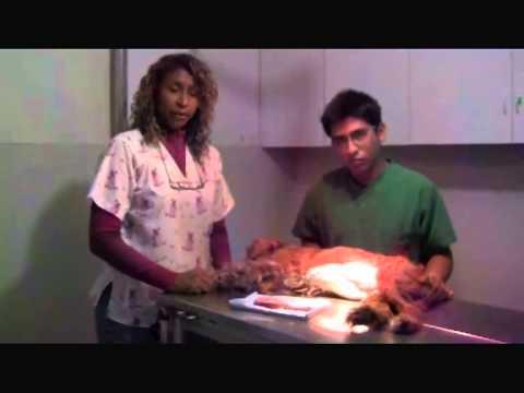 Mastectomía en perros. Veterinaria Animales del Mundo
