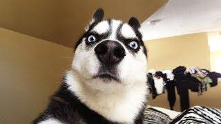 Tổng hợp clip về các Đại Ngáo cần được bảo tồn 🤣 Chết cười với mấy em Husky này 😅