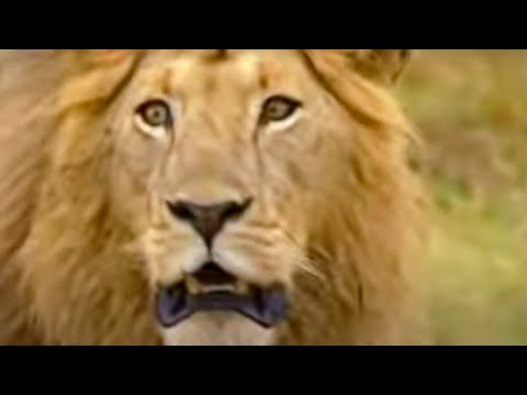 BBC: Lion Out of Africa? Marsh Pride Living on the Edge