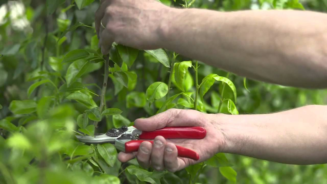 Summer Trees Fruit Summer Pruning Your Fruit