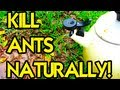 HOW TO KILL ANTS NATURALLY!!!