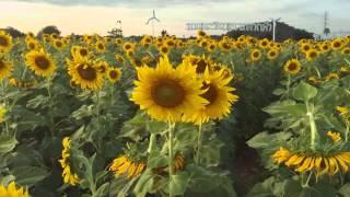 ชมทุ่งดอกทานตะวัน (Sunflower filed)