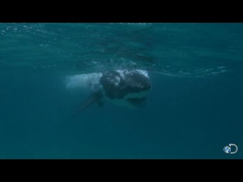 Baby Great White Sharks | Great White Matrix