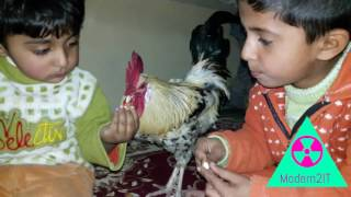 kids Rooster Hen Cock cockerel playing with fun baby