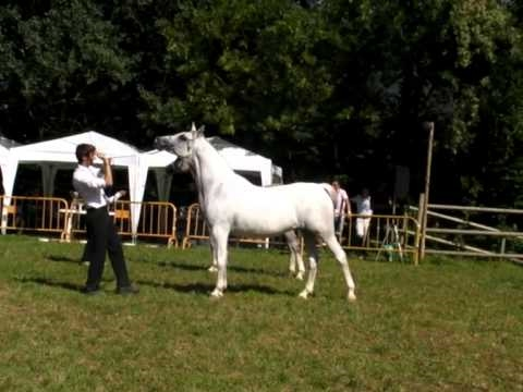 caballos árabes: Arabequus 2010.Campeonatos yeguas y sementales