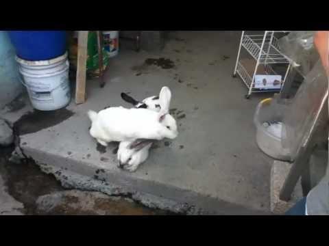 el desmayo del conejo