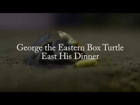 Backwater Reptile Review - George the Box Turtle