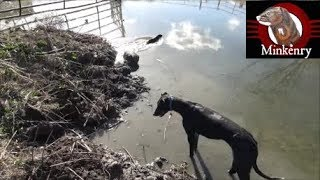 Muskrat Pest Control with Trained Mink and Dog