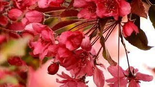 The Most Beautiful Cherry Flower Blossoms