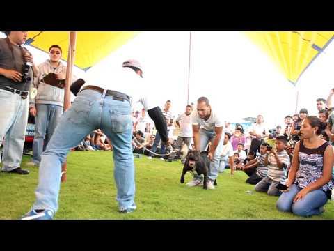 SALTO CON TIRO CHALCO AMERICAN BULLY PITBULL EVENT