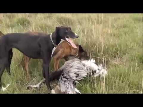 Caza de avestruces con galgos