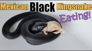 Feed My Pet Friday: Mexican Black Kingsnake!