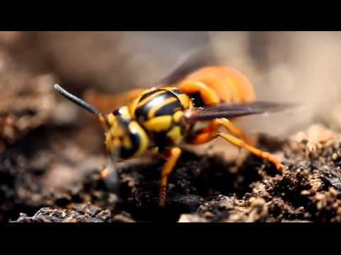 I found some hornets under a log around Grapevine Lake and got these videos of them.  I used a Canon