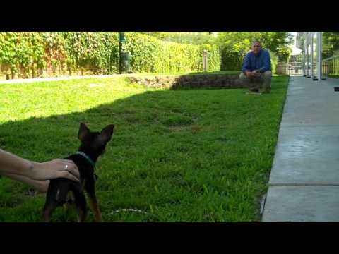 Chihuahua Races Training Tips - Petco Training