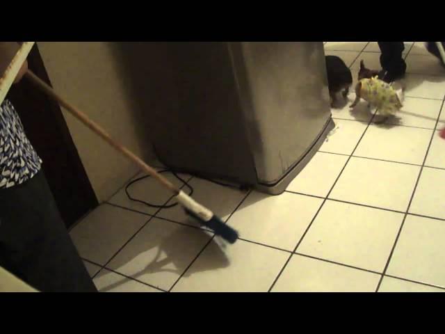 Chihuahuas cazando ratas...