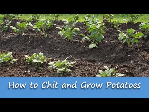 Gardening Guide - How to Chit and Grow Potatoes