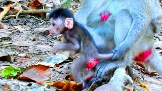 Oh Yeah! New Born Baby Monkey Janet This Morning Learn To Walk Herself ,But Mum Jane Think Not Yet