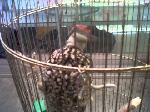 pelatuk bawang gacor 100jt sanda djenggot