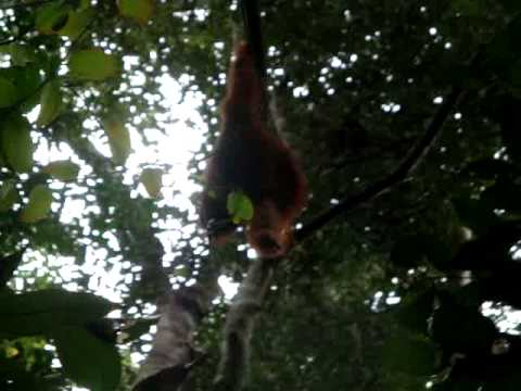 An orangutan in Bukit Lawang, Sumatra