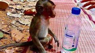 Pity Lori Try to Drink water But Can not Open/Lori Hugry hard Amari don't give Milk.SPBB Monkey.