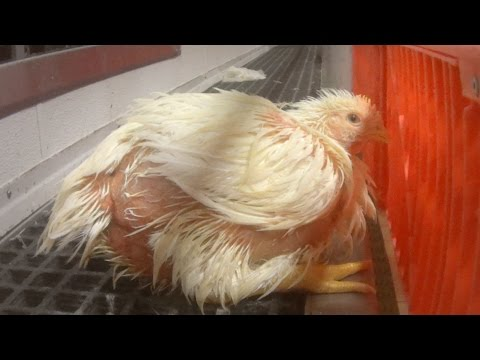 Hidden-Camera Exposes Criminal Animal Abuse at Chicken Slaughterhouse