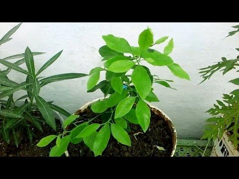 زراعة الليمون من البذور  |  2  | thumbnail