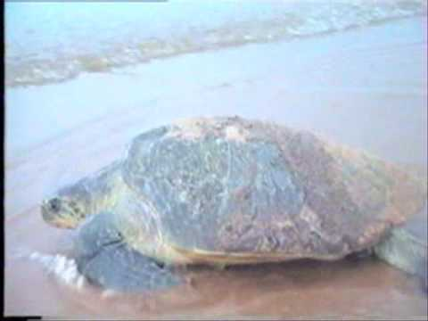 Olive Ridley Turtles near Dhamra Port Project